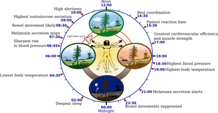 Biological Clock - source wikipedia